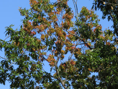 Figure 2: Oak wilt symptoms within the crown of a red oak. Photo credit Bill Cook.
