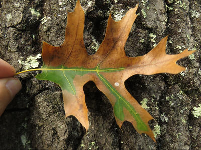 Red oak leaf with symptoms of oak wilt. Photo courtesy Bill Cook.