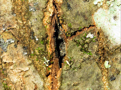 Figure 3: A crack in the red oak bark caused by a pressure pad. This can attract sap beetles and lead to the overland spread of the oak wilt pathogen. Photo credit Bill Cook.