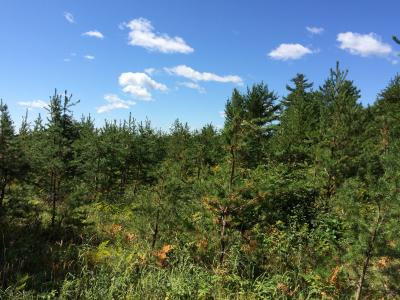 11-year old planted jack pine stand, Barnes Barrens