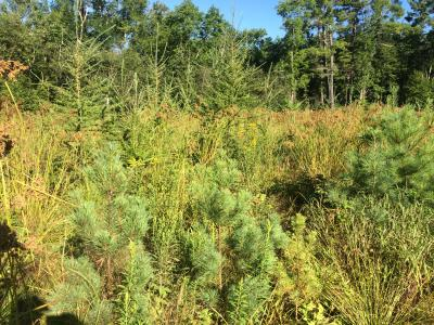 Planted seedlings of white pine, tamarack, and white spruce, August 2015