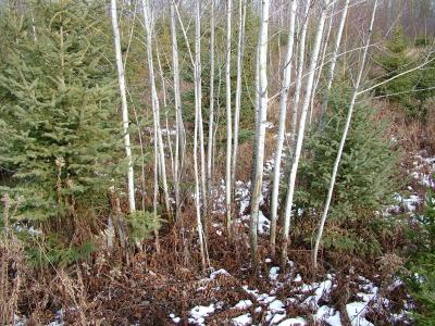 A dense pack of planted hybrid aspen