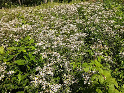 Figure 8. An aster patch in the summer of 2018.