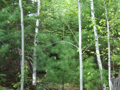 Vigorous white pine and aspen growing inside the exclosure.