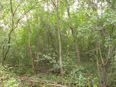 Figure 2: A before picture of the understory with prolific buckthorn.