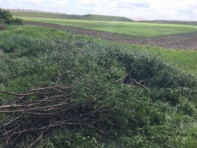 A pile of removed buckthorn with agricultural fields in the background.