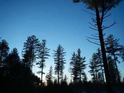 Evening silhouette of white pine shelterwood stand