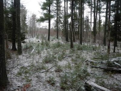 Figure 2. Group of white pine regeneration below the reserved canopy trees. Photo December 2015 by Kyle Gill.