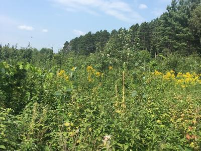 Taken August 2018,1.5 years post treatment, raspberry and goldenrod dominate in the mulched and trenched area