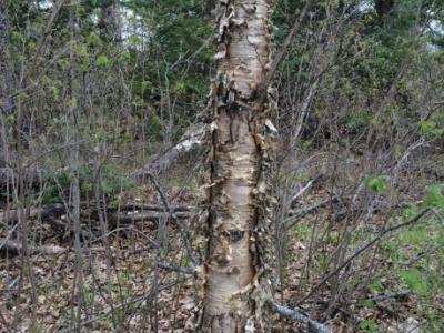 Yellow birch stem from the site