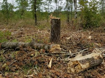 Figure 2: Photograph of drumming log habitat created for ruffed grouse after a timber sale in an adjacent area, summer 2017. Source: Robert Rother