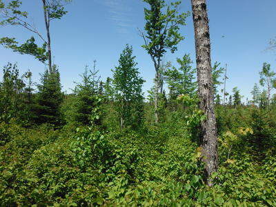 Figure 1: Young birch, sugar maple, balsam fir, and white pine amongst residual sugar maple. Black spruce lowland in the background.