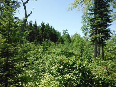 Figure 2: Young balsam fir, birch, aspen, and brush below residual sugar maple.