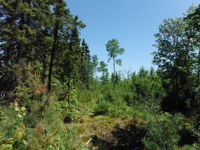 Figure 3: Border of stand. Black spruce lowland to the northwest. White pine and sugar maple in the foreground. Sugar maple and aspen overstory residuals in the background above balsam fir, aspen, and white pine.