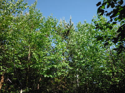 Figure 3: Sapling paper birch and jack pine treetops.
