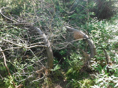 Figure 4: Bent over trunks of snow damaged jack pine