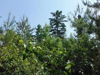 Young white pine, paper birch, jack pine, mountain ash, balsam fir in the foreground. Residual mature white pine in the background.