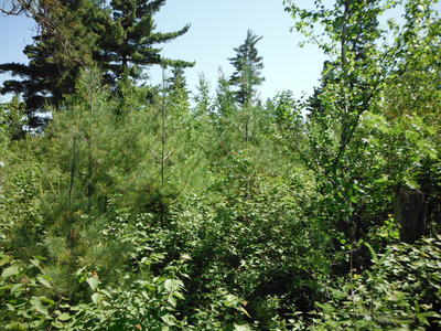 Figure 5: Brush in the foreground, with young white pine and paper birch and residual white pine in the background.