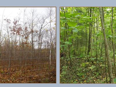 Deer exclosure fencing with regenerating oak, aspen and birch