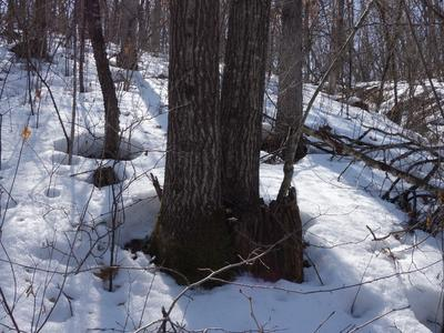 Figure 1. Thirty one year old red oak trees from stump sprout origin