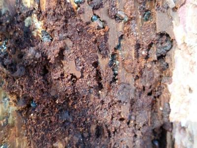 Figure 1. Close up of ELB infestation of dead tamarack tree within stand.