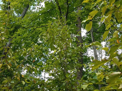 Figure 2. A young sugar maple tree in the mid-story, potentially shading out advanced regeneration of other hardwoods below. (Summer of 2018)