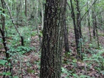 Figure 5. Red oak stem in 2019.  29 years old, approximately 7 inches DBH
