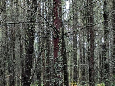Figure 5. Photo of dense pre-treatment stand structure within ELB-infested tamarack stand (stem exclusion stage).