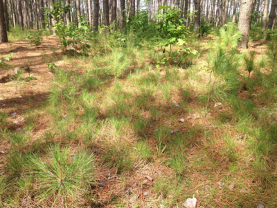 Figure 7.  Stand understory in 2017 showing abundant red pine seedlings