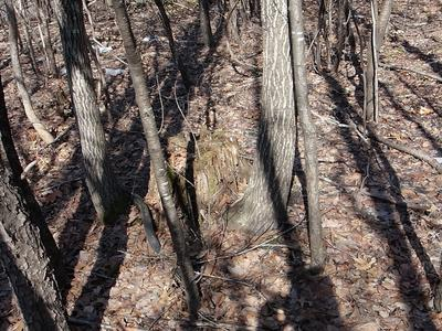 Figure 6.  Red oak stump sprout regeneration and mixed hardwood poles in March 2020.  There are a few red oaks that regenerated post-harvest, but we were hoping for considerably more.