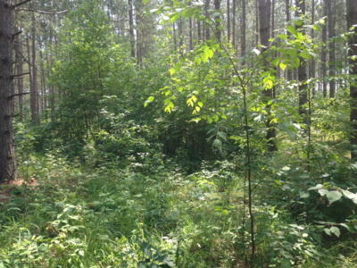Figure 9.  Another shot of understory in an opening in 2017