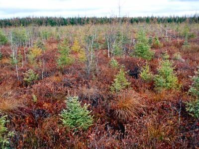 Five Mile Spruce planting