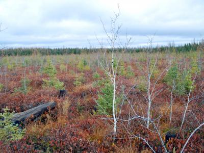 Black spruce, tamarack, and aspen regeneration of lowland black spruce stand, 9 years after harvest and aerial seeding (photo taken November 6, 2015).