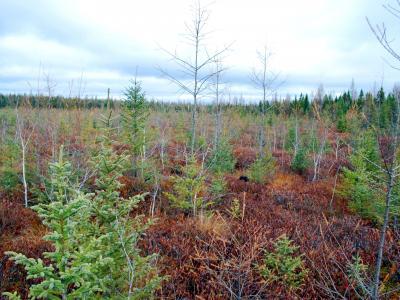 Another view of aerial seeded black spruce regeneration 9 years post-treatment (photo taken Nov. 6, 2015).