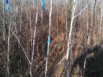 White spruce release Shoal Lake control