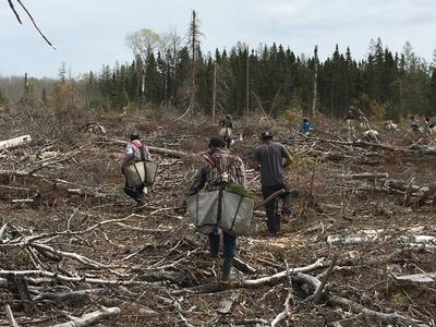 A tree planting crew spreading out across the recently harvest stand to plant. Slash and debris from the harvest operation is visible on the ground.