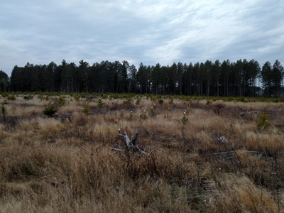 Figure 6. Sale area in November 2016 facing west with the processed at the stump, full biomass retention treatment in the foreground. This photo also demonstrates that the nearby mature stands are primarily dominated by red pine.