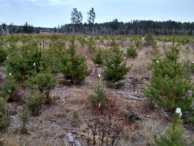 Figure 7. Sale area jack pine regeneration in November 2016. Photo collected facing northeast from within the full-tree skidding and no slash retention treatment.