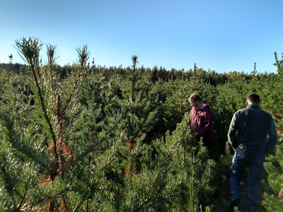 Figure 8. Sale area jack pine regeneration within the full-tree skidding no slash retention treatment in November 2017. This photo was collected facing south from within one of the highest-density groups of jack pine regeneration.