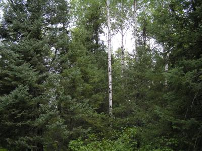 Mixed aspen-spruce stand