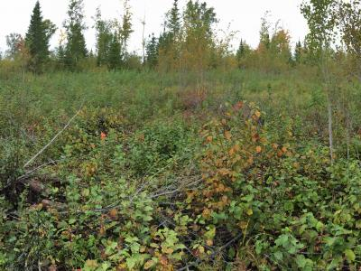 Panoramic view of mosaic burn site on Jim Readdy Rd showing some intact aspen regen
