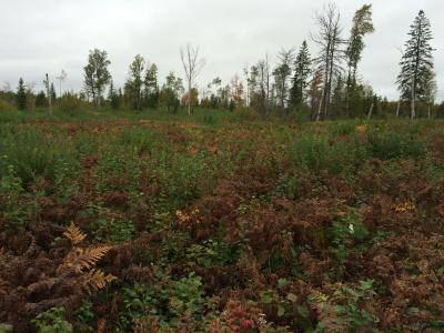 Mosaic burn site on Jim Readdy Rd showing relatively heavy competition, an area in which white pine was planted