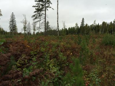 Showing an area of heavy competition planted to white pine (left) and lighter competition planted to red pine (right)