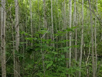 Treatment area 3 (not trenched, no overwood) showing dense aspen regen