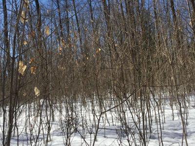 Figure 2: Mid size canopy gap, dense sugar maple regeneration. Note the lower forking and crook of many of the stems from past deer browse. The lower crook on such small stems is not a concern as the tree will out grow this as it gains diameter.