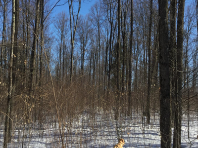 Figure 3: Skid trail used in 2006/07 harvest. Tree length skidding provided a bare mineral seedbed allowing yellow birch to thrive. Yellow birch only accounts for about 2% of the overstory's density.