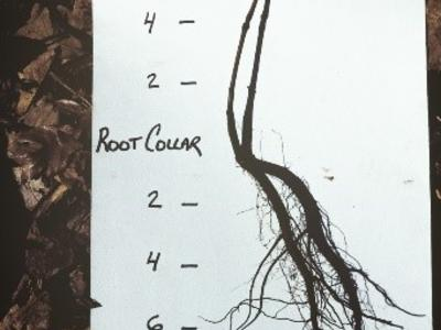 "Oak planting stock with average stem caliper ¼"", top and roots pruned to 6"" prior to planting."