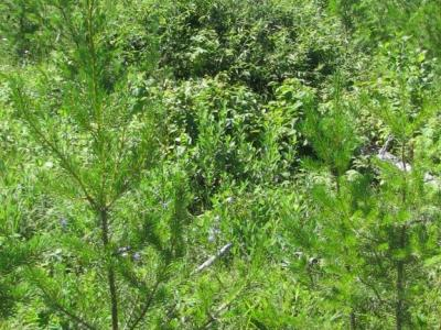 Jack pines are becoming sexually mature and will begin to fill in gaps on the site.