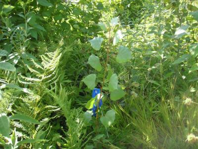 Planted cottonwood seedling in clearcutting treatment in summer 2013