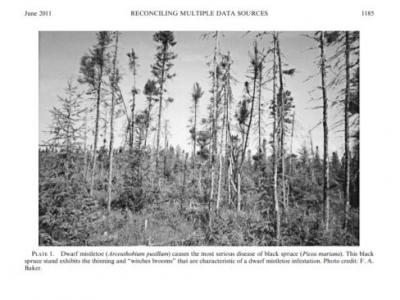 Black spruce stand photo